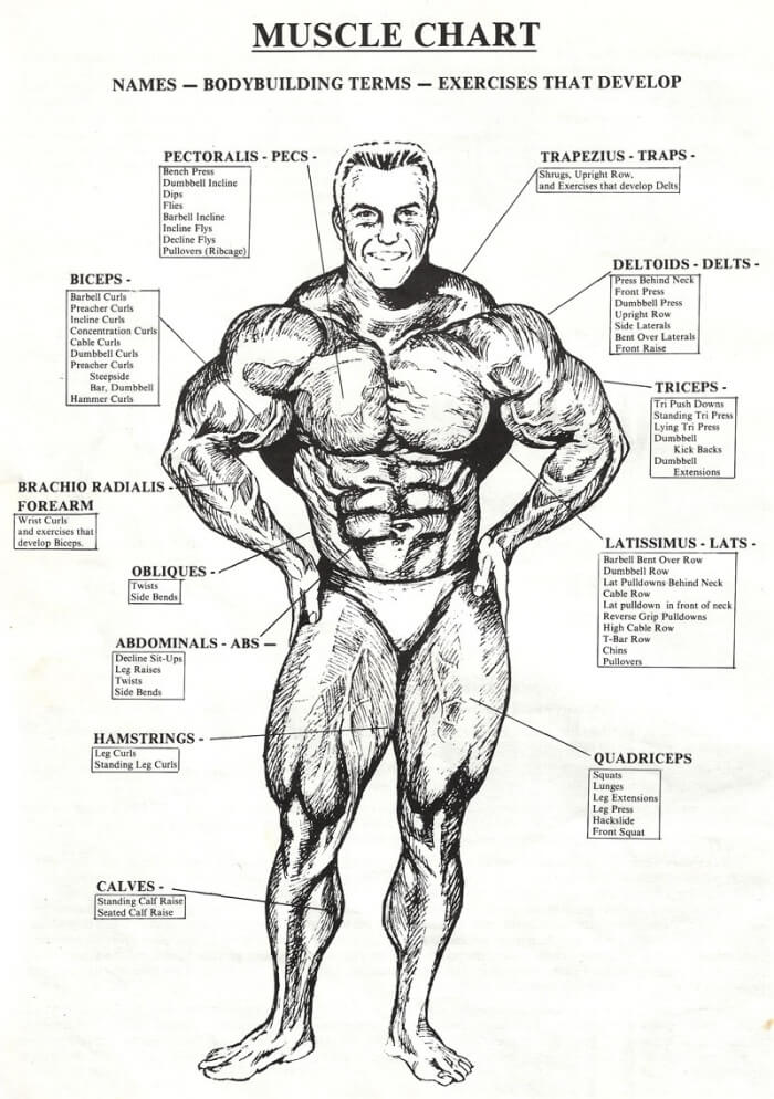 Muscle Chart - Healthy Fitness Names Workouts Tricep Bicep Abs