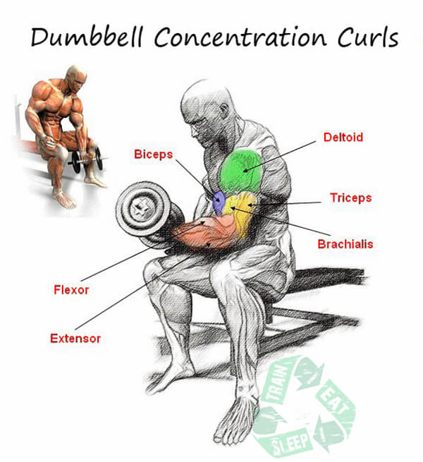 Dumbbell Concentration Curls - Biceps Workout Exercises Triceps
