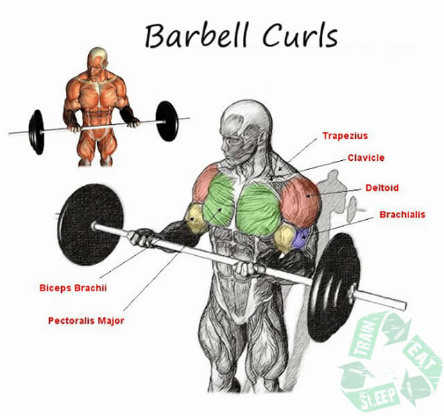 Barbell Curls - Biceps Workout Arms Bicep Shoulder Sixpack