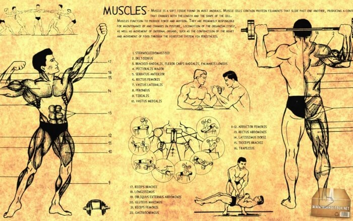 Muscles Information - Healthy Fitness Workouts Biceps Charts Abs