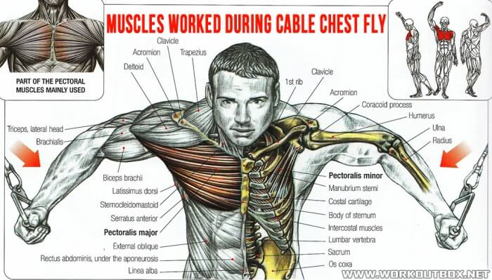 Muscles Worked During Cable Chest Fly - Healthy Fitness Workouts