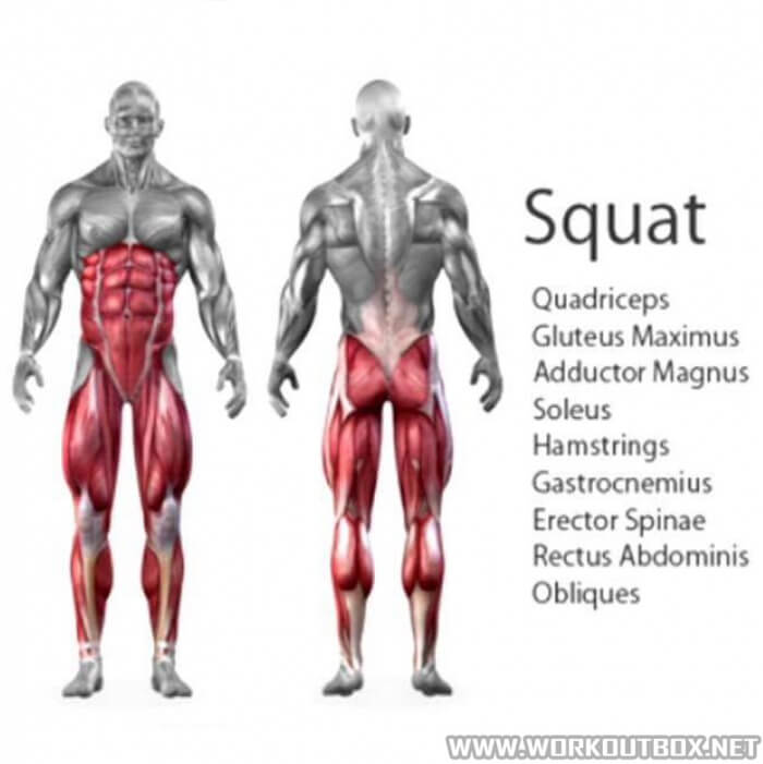Squat - Muscles Squatting Healthy Fitness Workout Exercises
